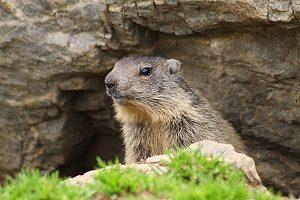 Marmotte_Gavarnie